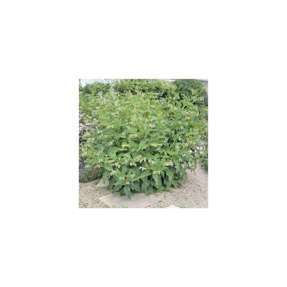 Grande consoude plantes et jardins for Purin de consoude achat