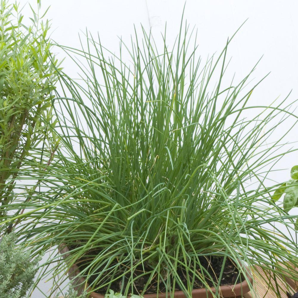 Ciboulette plantes et jardins for Plante et jardins