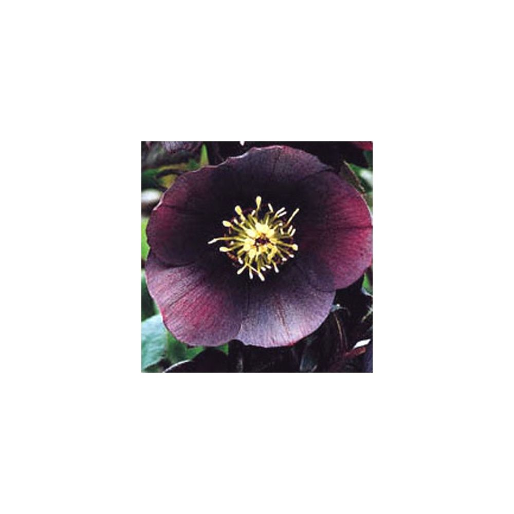 Rose de no l d 39 orient 39 blue lady 39 plantes et jardins for Rosier princesse d orient