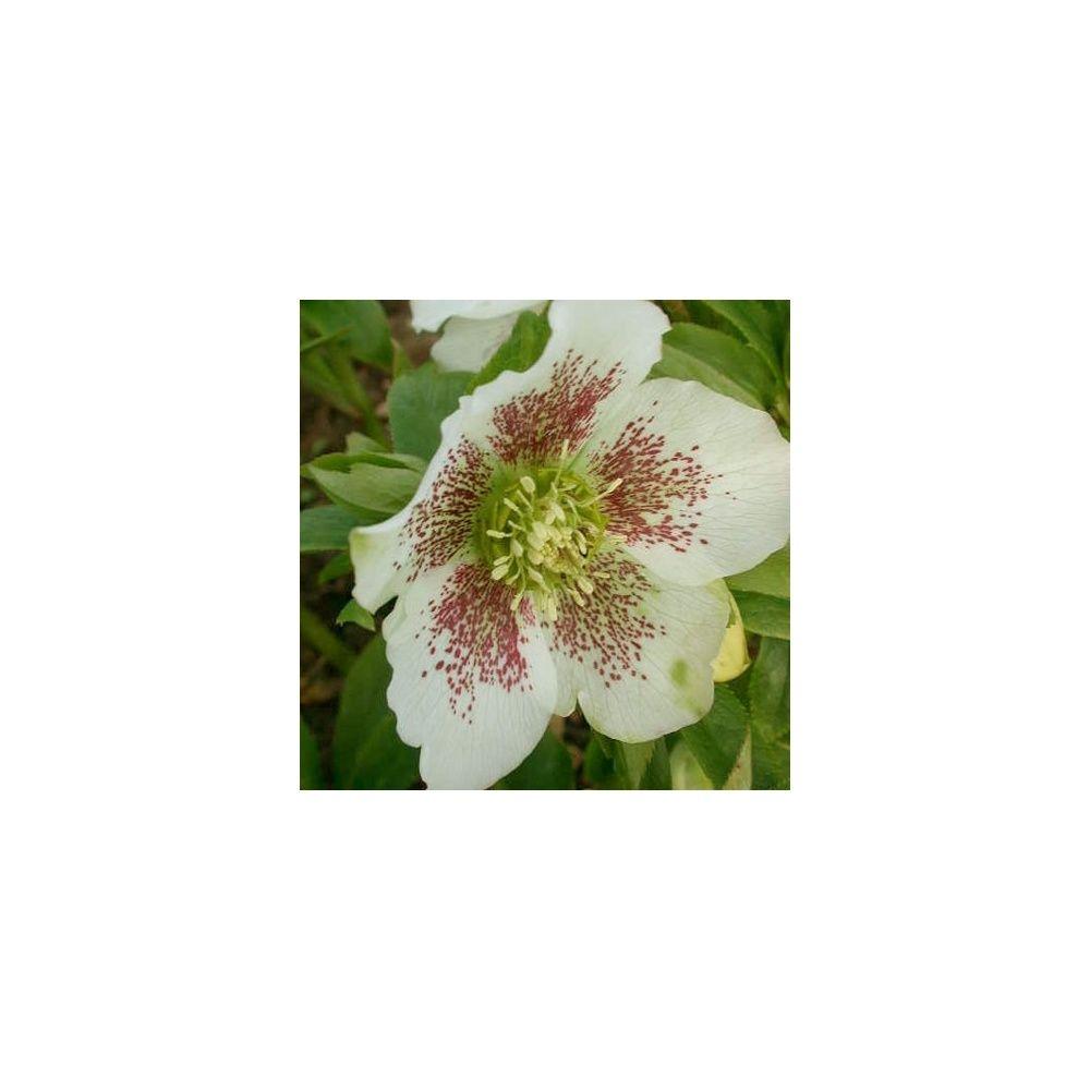 Rose de no l d 39 orient 39 white spotted lady 39 plantes et for Rosier princesse d orient