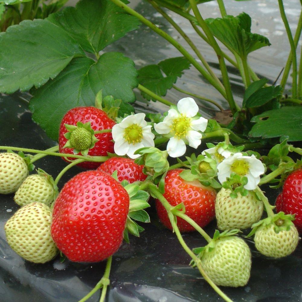 fraisier remontant maestro plantes et jardins. Black Bedroom Furniture Sets. Home Design Ideas
