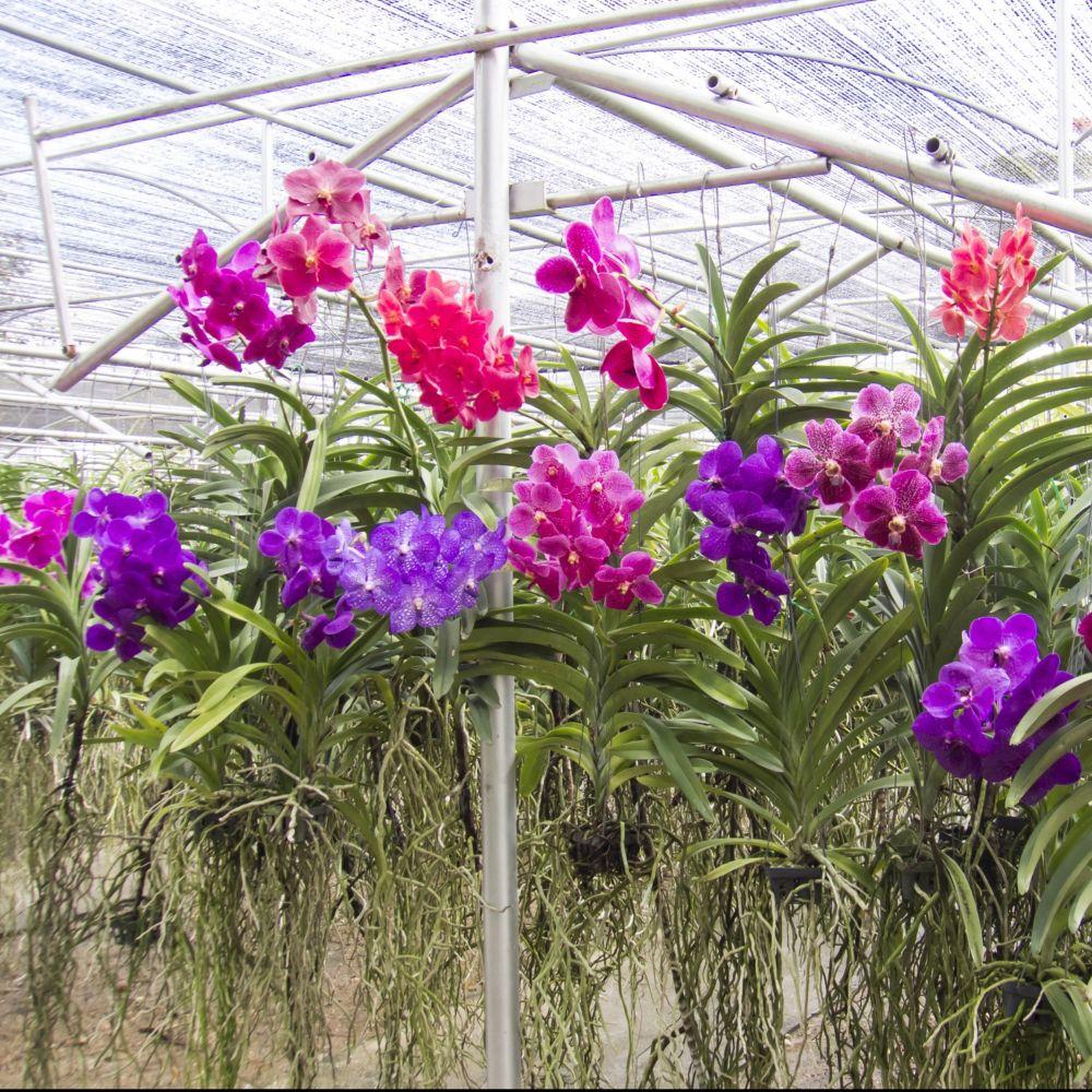 orchid e vanda pink magic plantes et jardins. Black Bedroom Furniture Sets. Home Design Ideas