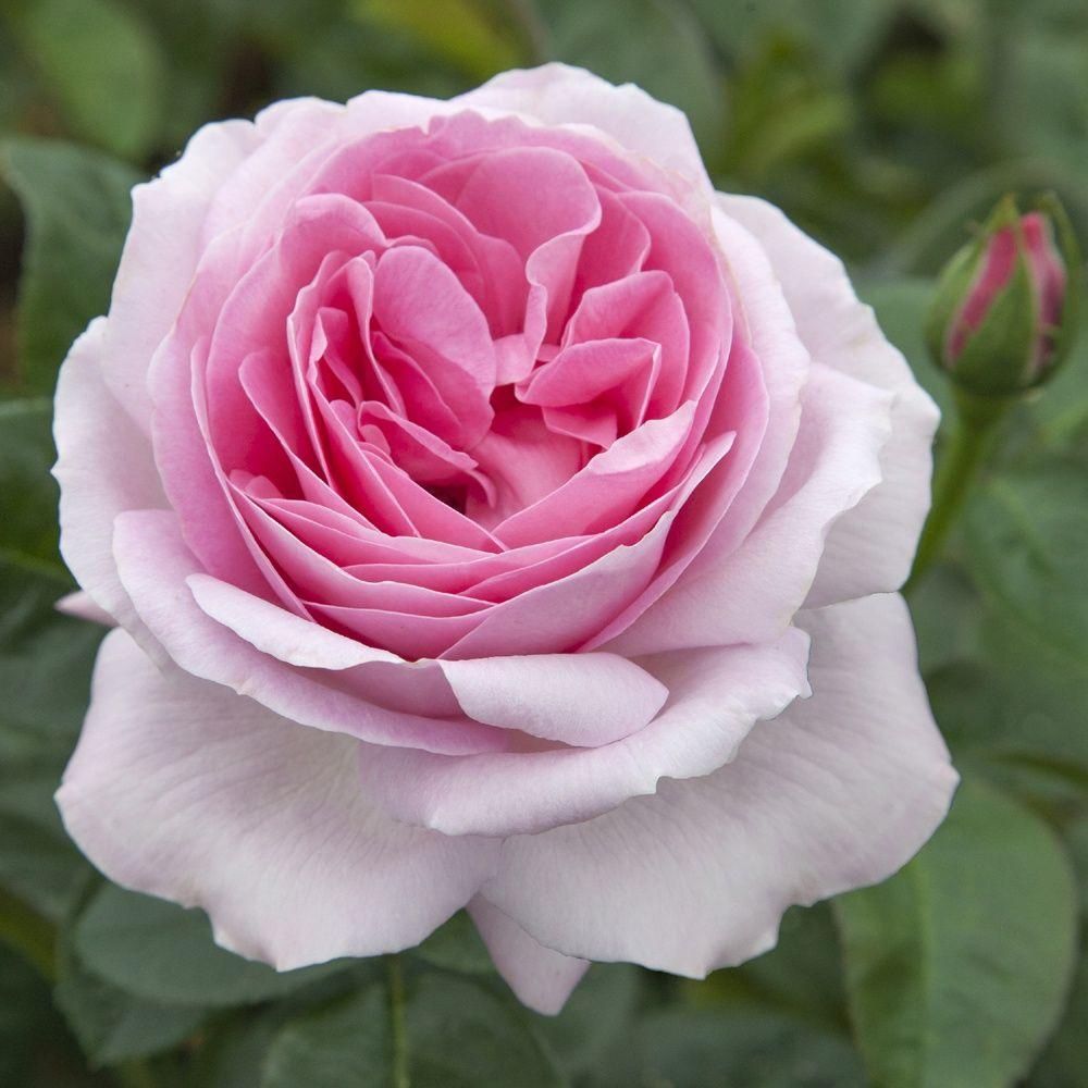 Rosier 39 pink eureka 39 meiagadou rosier meilland for Rose piante