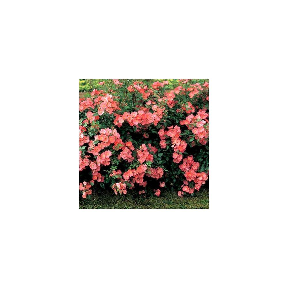 Rosier 39 douceur normande 39 meipopul rosier meilland plantes et ja - Rosier douceur normande ...