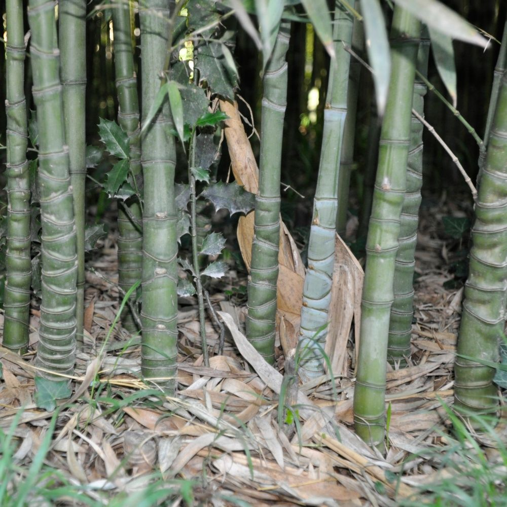 Bambou moyen : Phyllostachys aurea - Plantes et Jardins