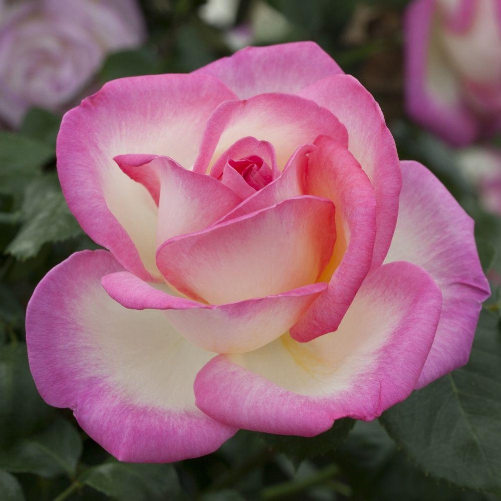 Rosier 39 princesse de monaco 39 meimagarmic rosier for Rosier jardin de france