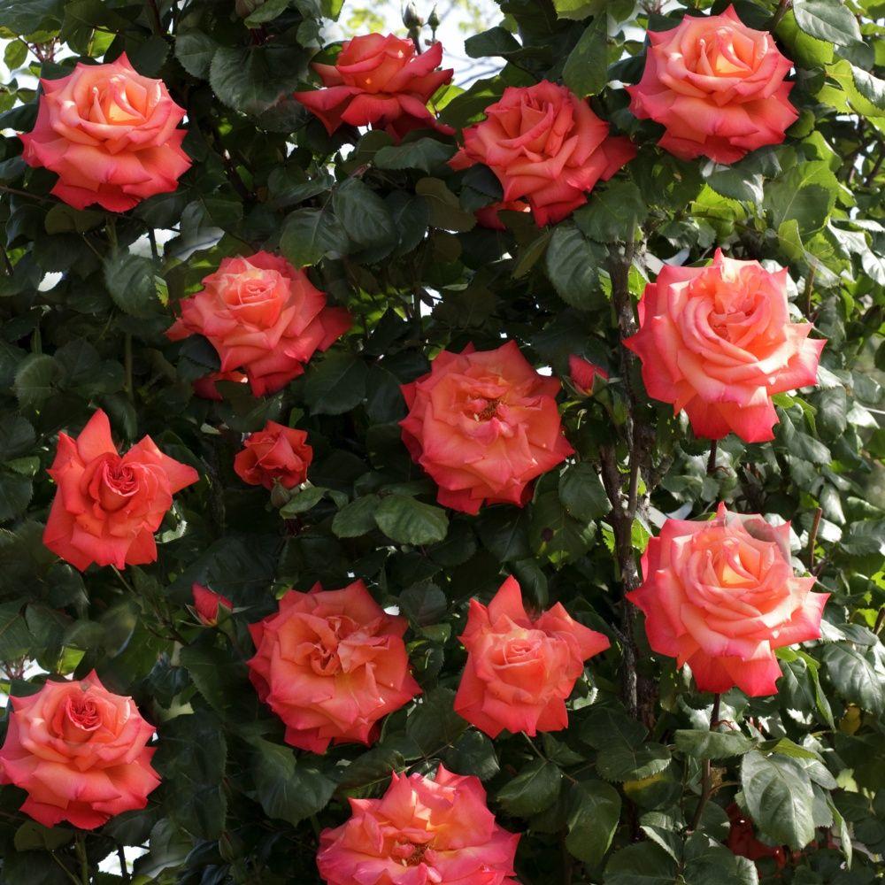 Rosier grimpant 39 christophe colomb 39 meironssesar rosier meilland plantes et jardins - Quand planter un rosier ...