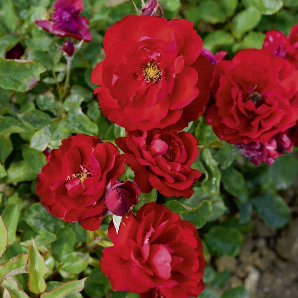 rosier 39 lili marlene 39 rosier meilland plantes et jardins. Black Bedroom Furniture Sets. Home Design Ideas