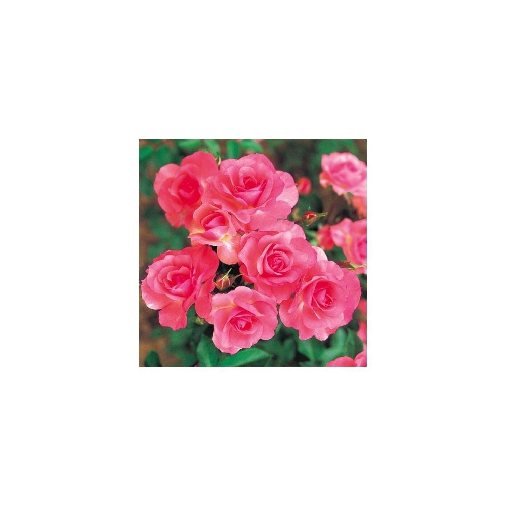 Rosier 39 jardins de france 39 meizebul rosier meilland for Rosier jardin de france