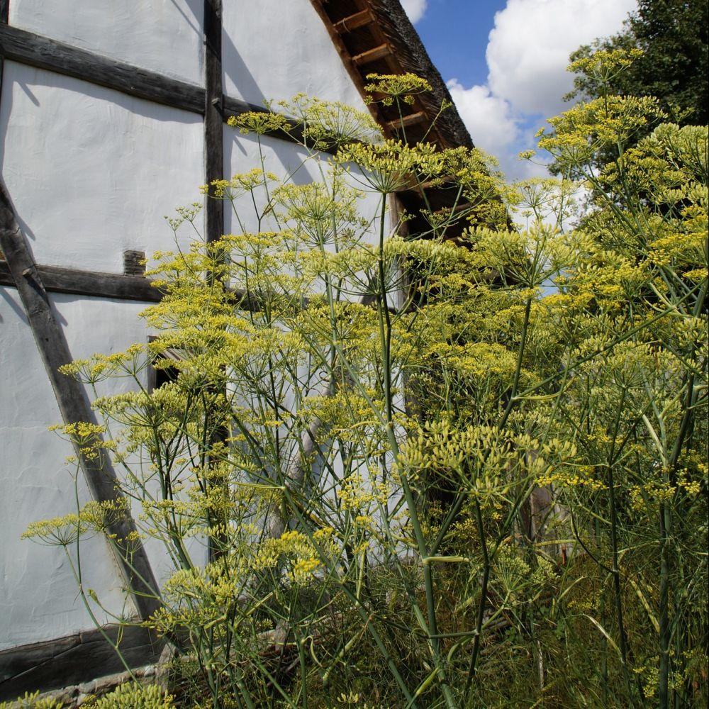 Fenouil plantes et jardins for Plantes et jardins adresse