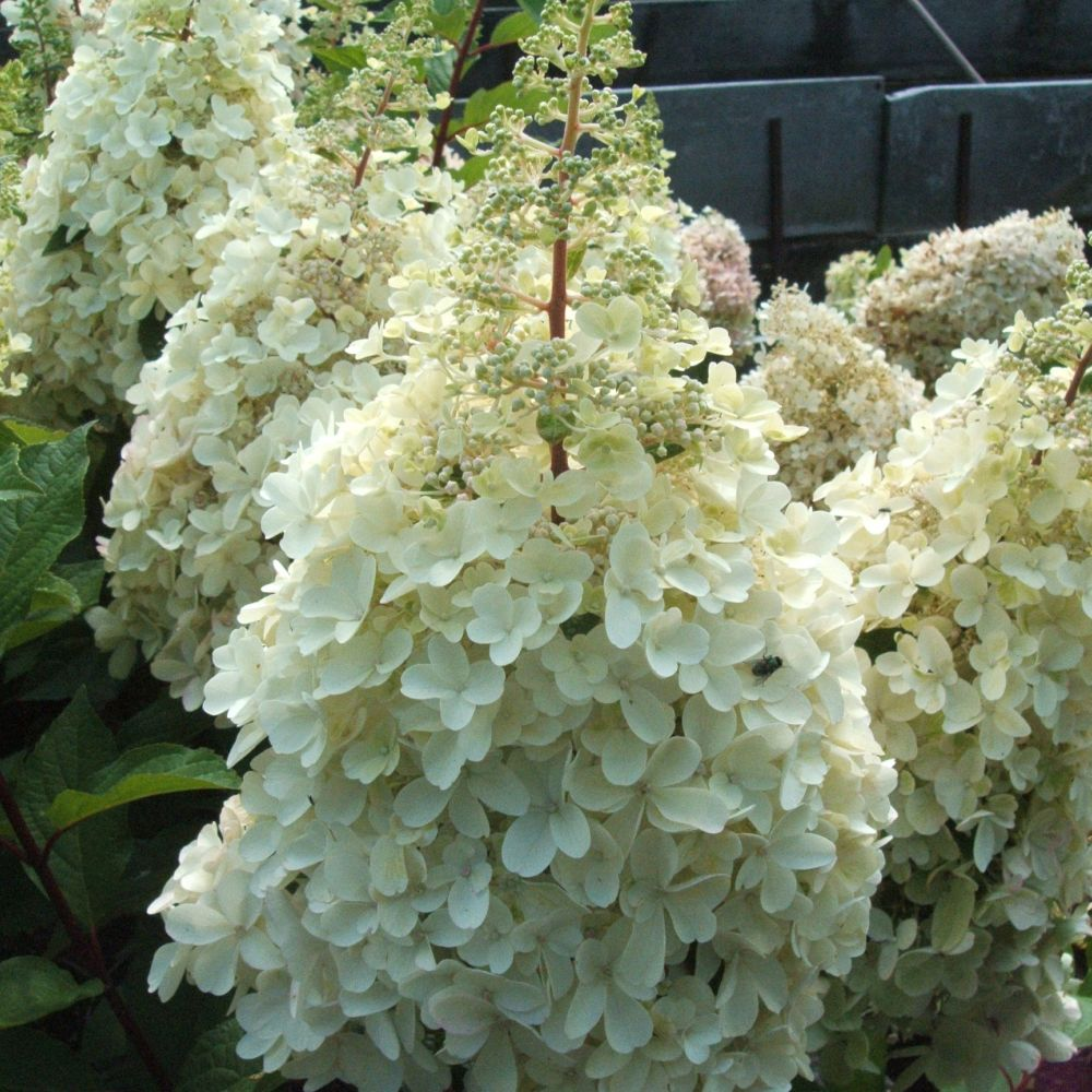 hortensia paniculata 39 pinky winky 39 plantes et jardins. Black Bedroom Furniture Sets. Home Design Ideas