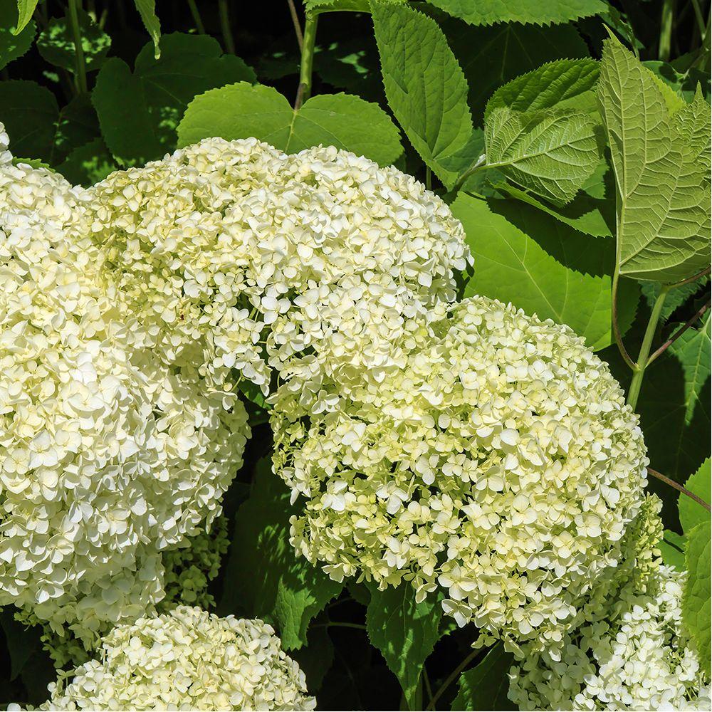 Hortensia 39 annabelle 39 plantes et jardins for Jardin et plantes