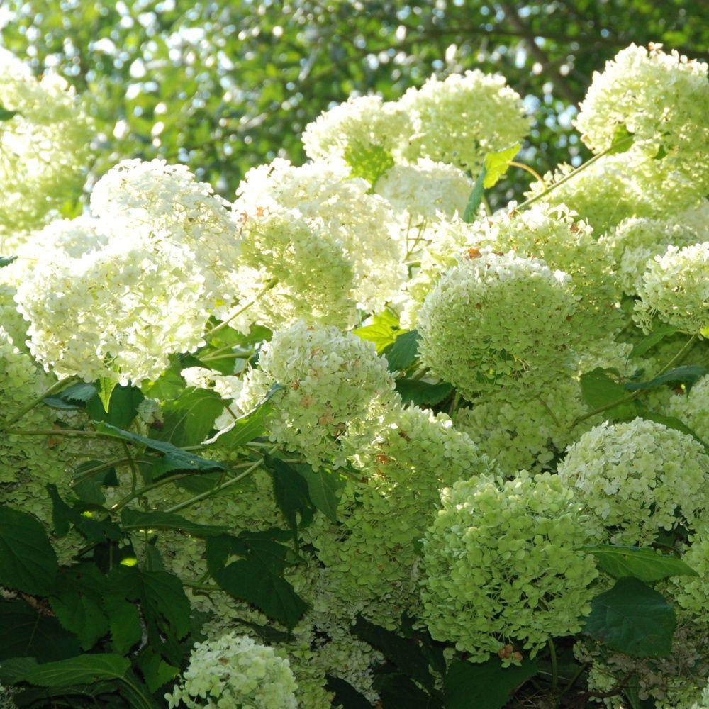 Hortensia 39 annabelle 39 plantes et jardins - Planter hortensia plein soleil ...