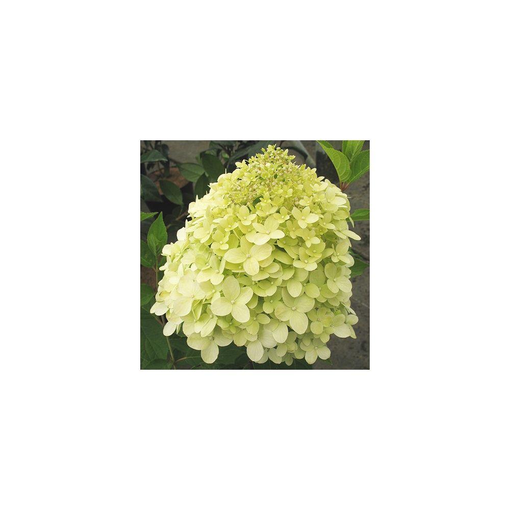 Hortensia paniculata 39 limelight plantes et jardins for Plantes et jardins