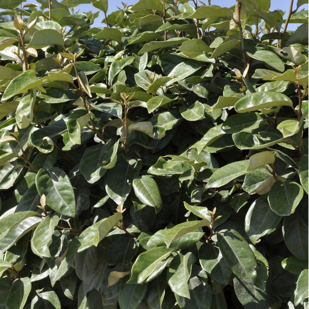 Elaeagnus ebbingei plantes et jardins for Eleagnus maladie feuilles jaunes