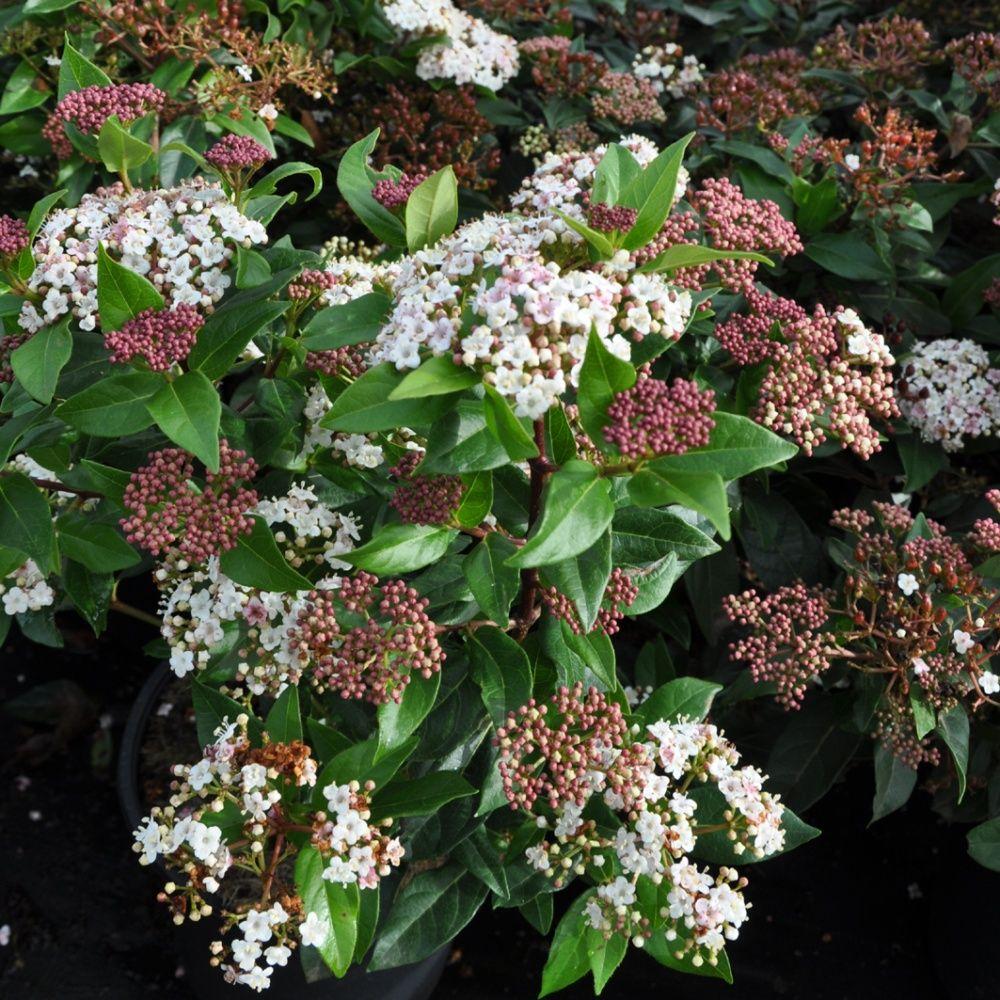 Laurier tin x 2 plantes et jardins for Plantes et jardins