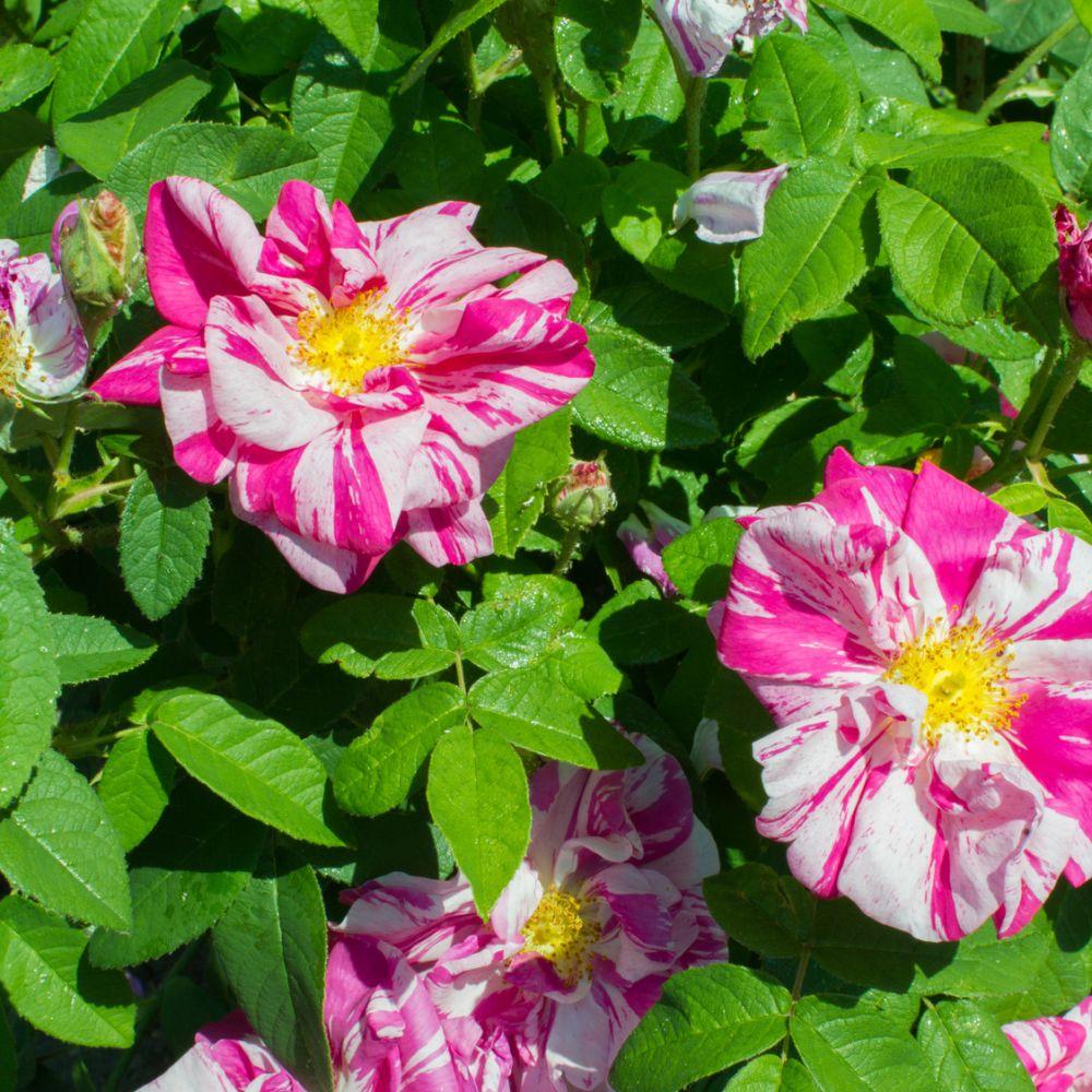 Rosier ancien 39 rosa gallica versicolor 39 rosier guillot plantes et jardins - Bouturer un rosier ancien ...