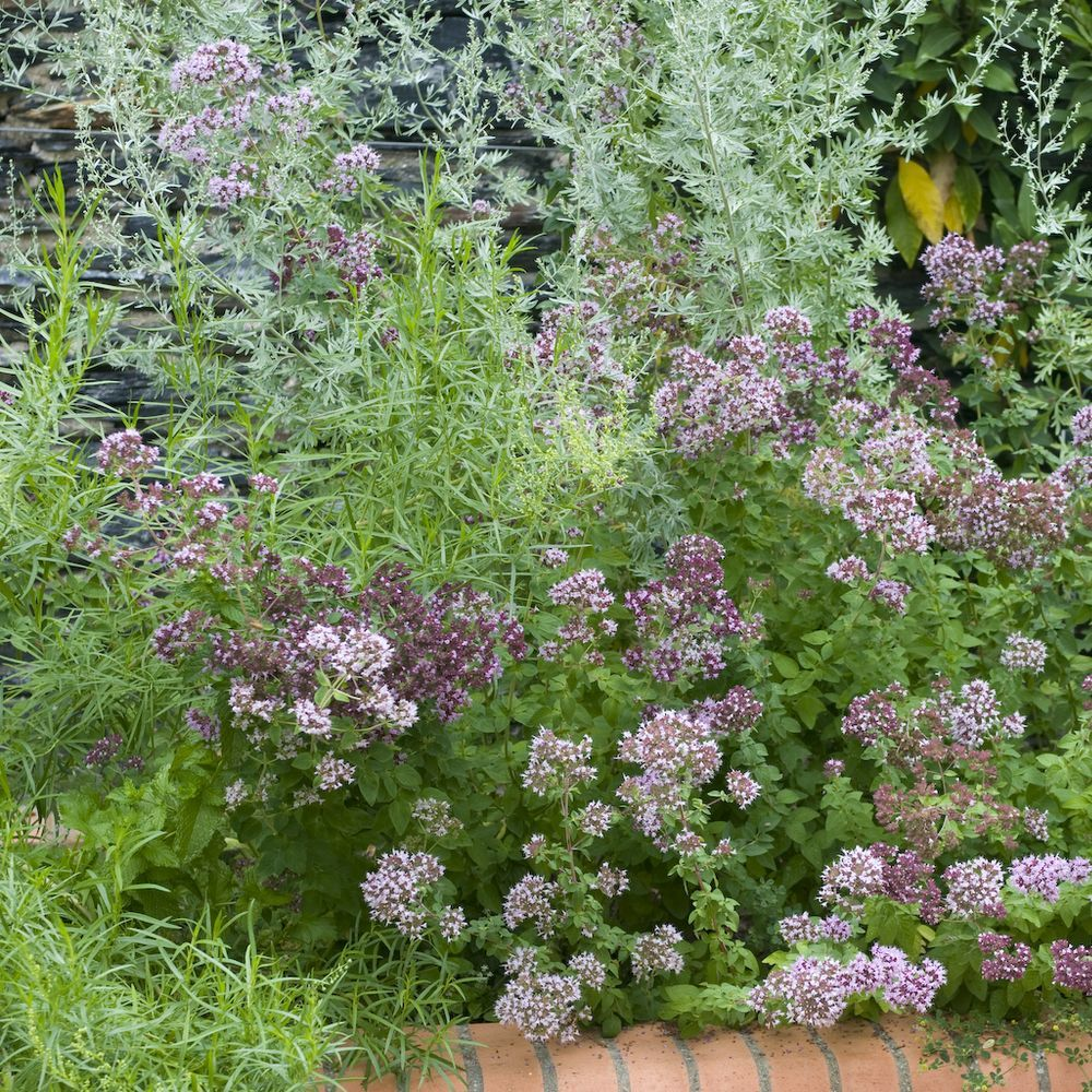 marjolaine ou origan plantes et jardins. Black Bedroom Furniture Sets. Home Design Ideas