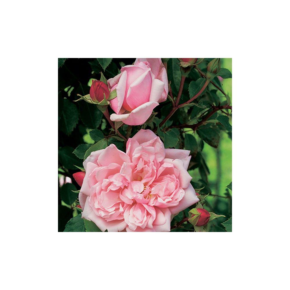 Rosier ancien grimpant 39 albertine 39 rosier guillot plantes et jardins - Bouturer un rosier ancien ...