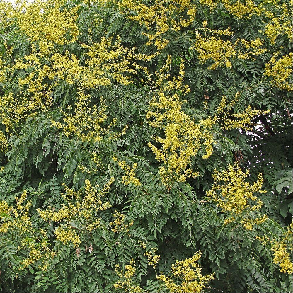Savonnier plantes et jardins for Plante et jardin catalogue