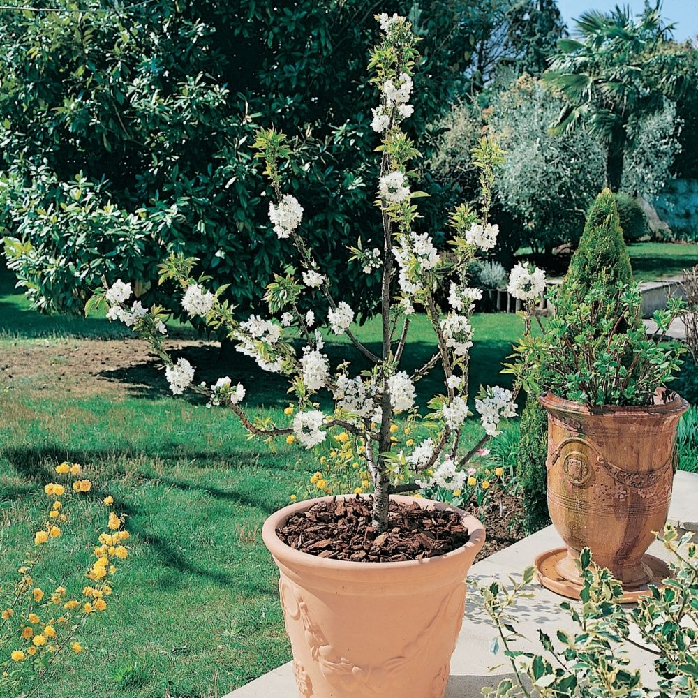 cerisier nain 39 garden bing 39 plantes et jardins
