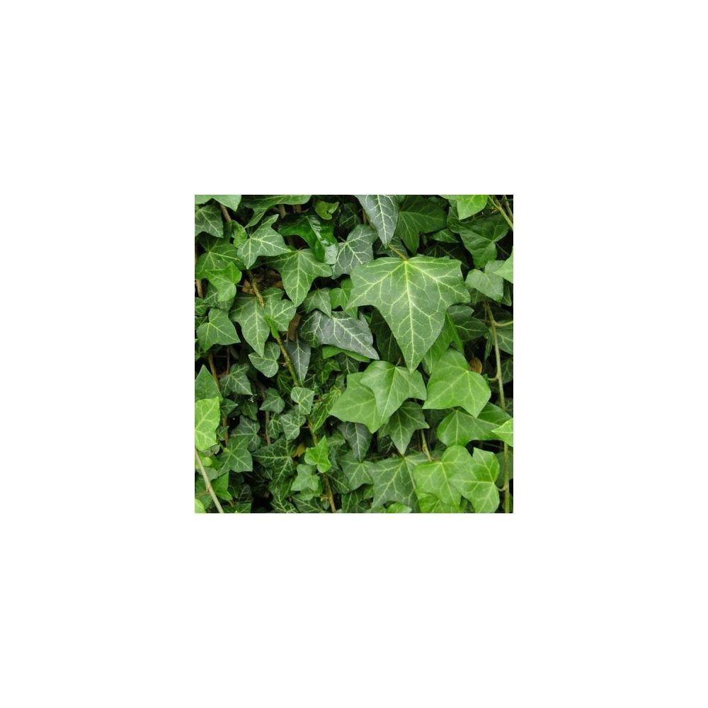 Lierre commun plantes et jardins for Plantes et jardins adresse