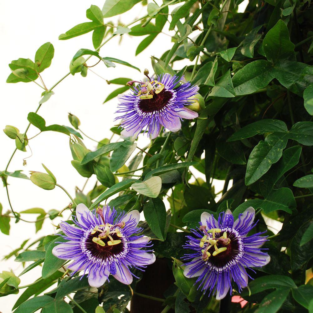 passiflore 39 purple haze 39 plantes et jardins. Black Bedroom Furniture Sets. Home Design Ideas