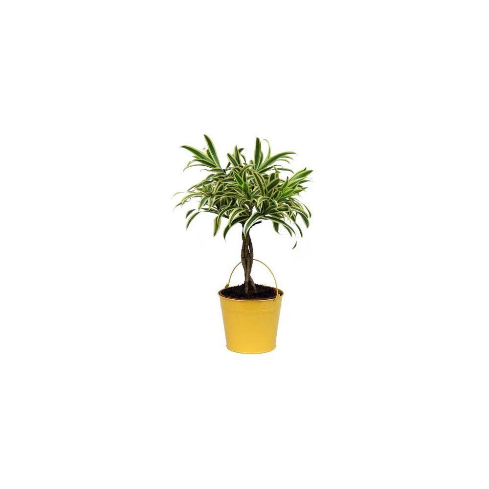 pleomele 39 song of india 39 cache pot zinc jaune plantes et jardins. Black Bedroom Furniture Sets. Home Design Ideas