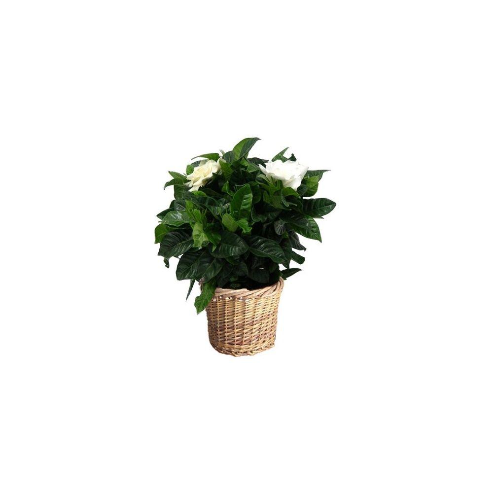 gardenia cache pot plantes et jardins. Black Bedroom Furniture Sets. Home Design Ideas