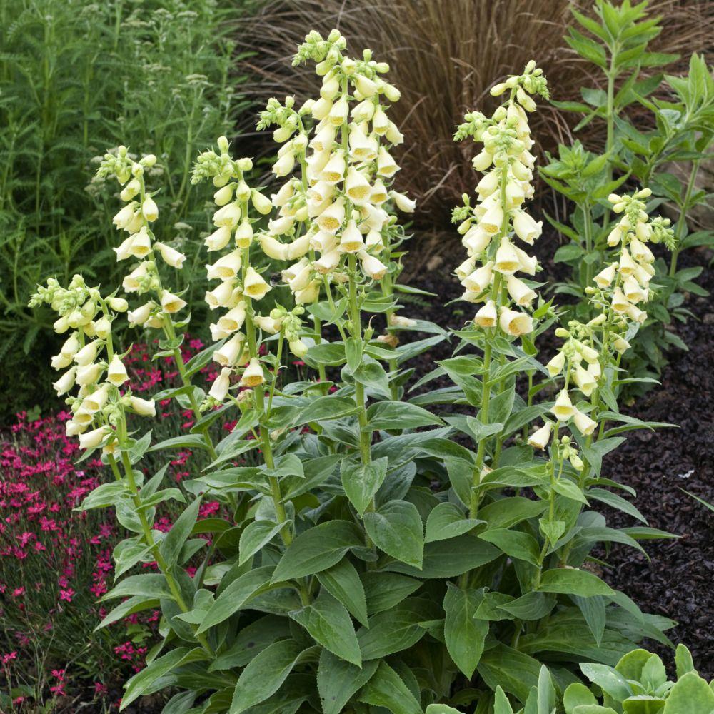 Digitale grandes fleurs plantes et jardins for Fleurs plantes et jardins