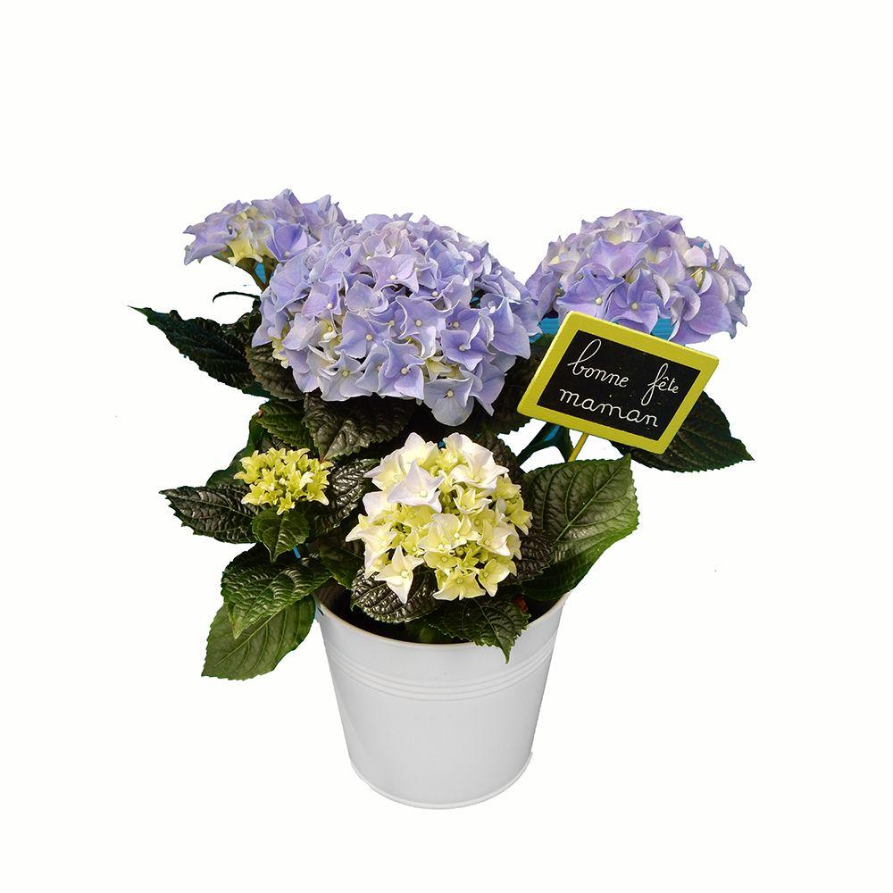 sp cial f te des m res hortensia bleu pot zinc bleu plantes et jardins. Black Bedroom Furniture Sets. Home Design Ideas