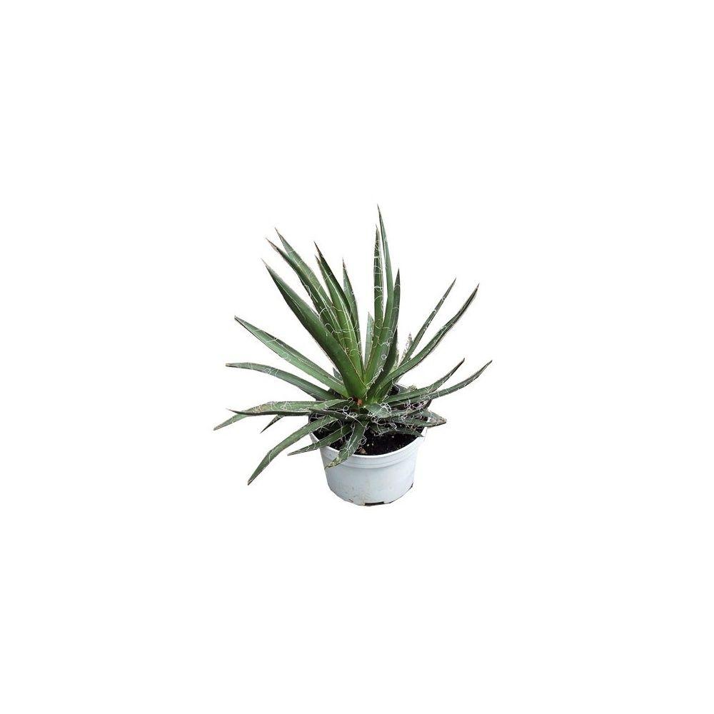 agave filifera plantes et jardins. Black Bedroom Furniture Sets. Home Design Ideas