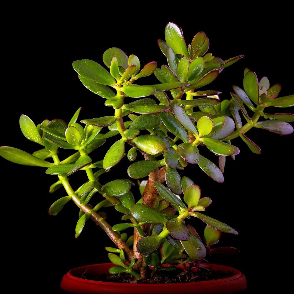 Crassula minor plantes et jardins for Plante crassula
