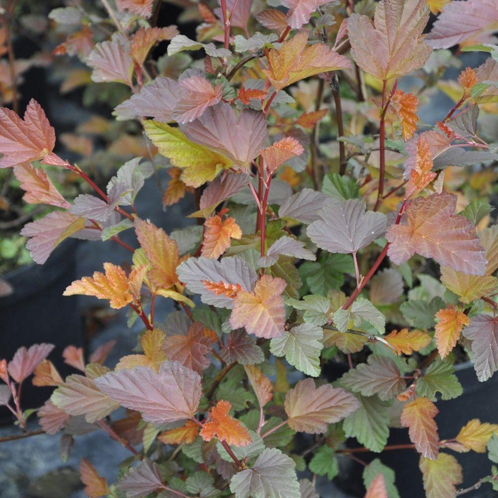 Physocarpe 39 diable d 39 or 39 plantes et jardins - Www plantes et jardins com ...