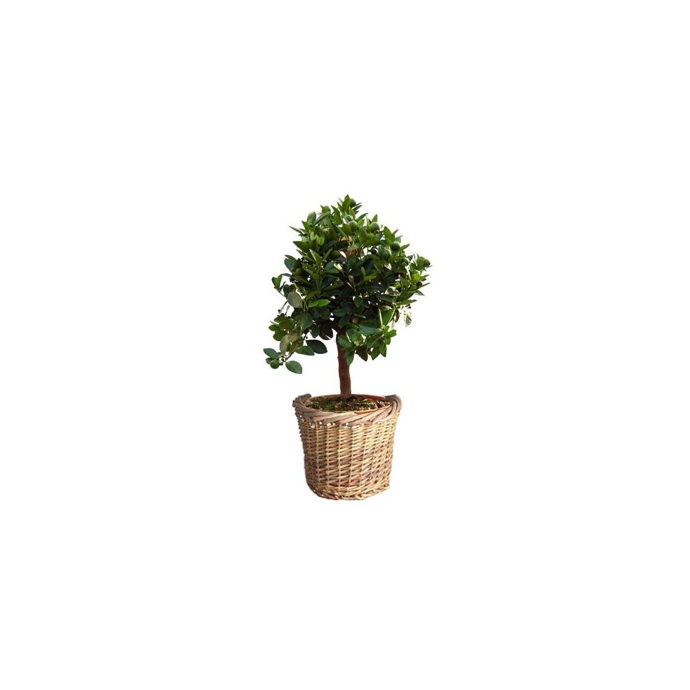 oranger calamondin cache pot livraison express plantes et jardins. Black Bedroom Furniture Sets. Home Design Ideas