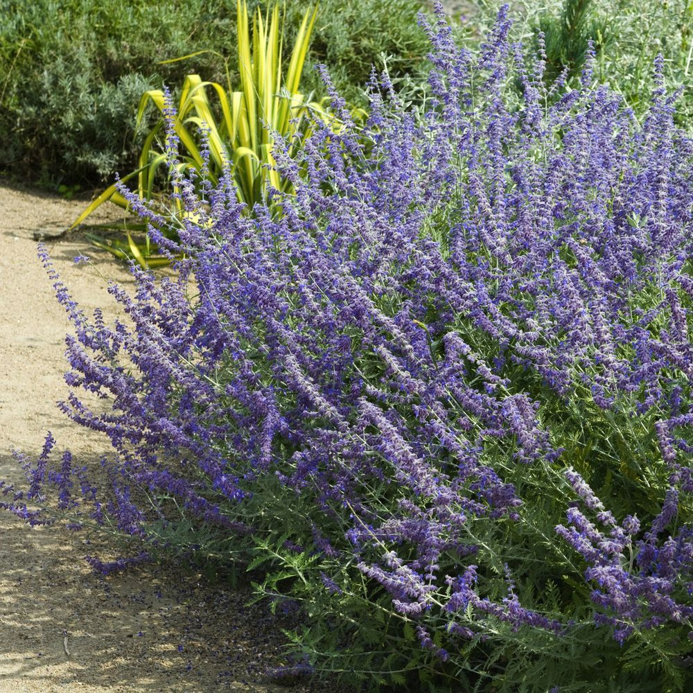 Perovskia atriplicifolia plantes et jardins for Plantes et jardins adresse