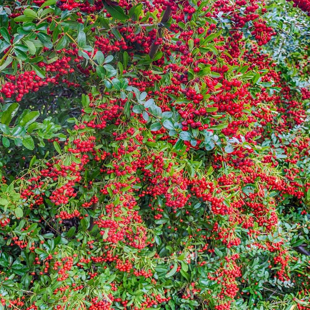 buisson ardent 39 saphyr rouge 39 cadrou plantes et jardins. Black Bedroom Furniture Sets. Home Design Ideas