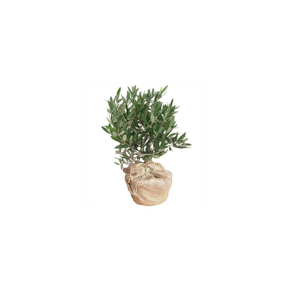 Olivier en pot cadeau 50cm livraison express plantes - Maladie de l olivier en pot ...
