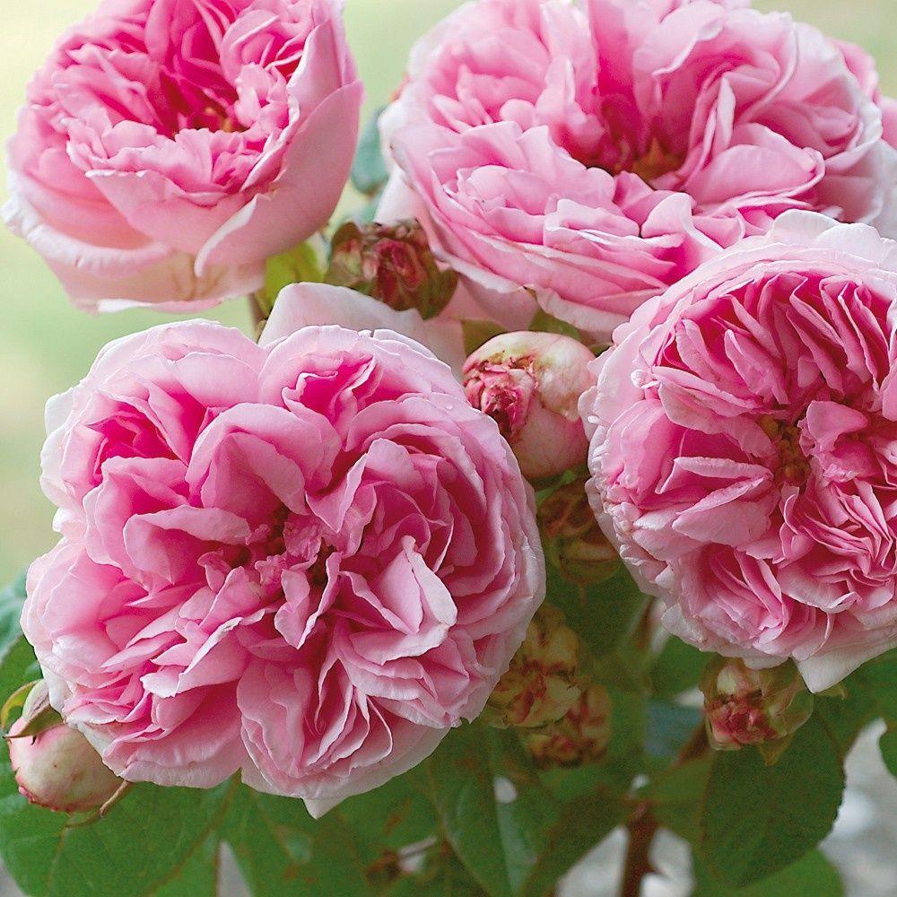 Rosier ancien 39 mme ernest calvat 39 rosier guillot for Rosier jardin de france