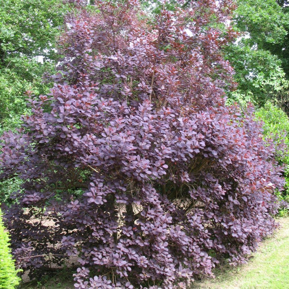 arbre perruques 39 royal purple 39 plantes et jardins. Black Bedroom Furniture Sets. Home Design Ideas