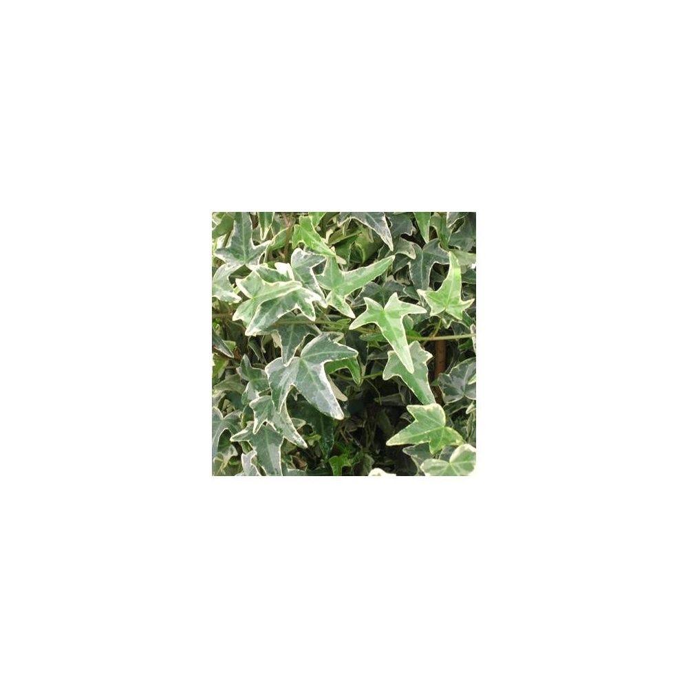 Lierre commun 39 sagittifolia variegata 39 plantes et jardins for Plantes et jardins adresse