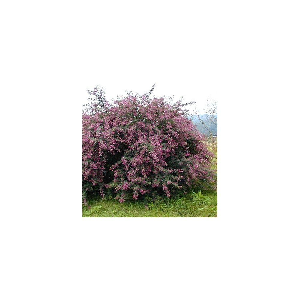 Desmodium pendulifolium plantes et jardins for Plantes et jardins