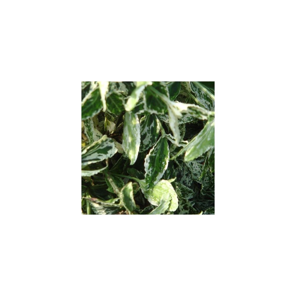 Fusain fortunei 39 harlequin 39 x 2 plantes et jardins for Plante et jardin catalogue