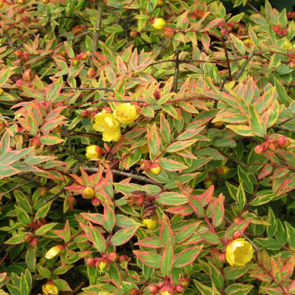 Millepertuis 39 tricolor 39 plantes et jardins - Www plantes et jardins com ...
