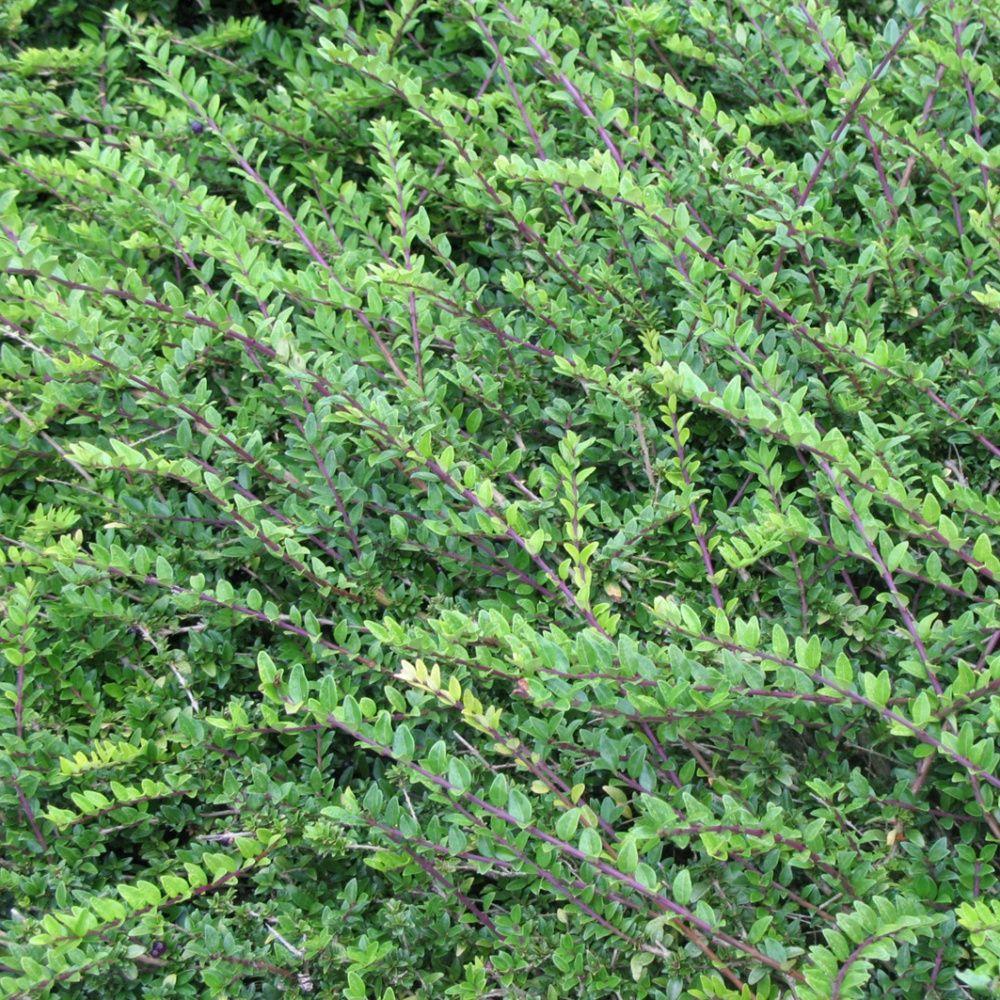 Ch vrefeuille arbustif 39 maigrum 39 plantes et jardins for Plantes et jardins