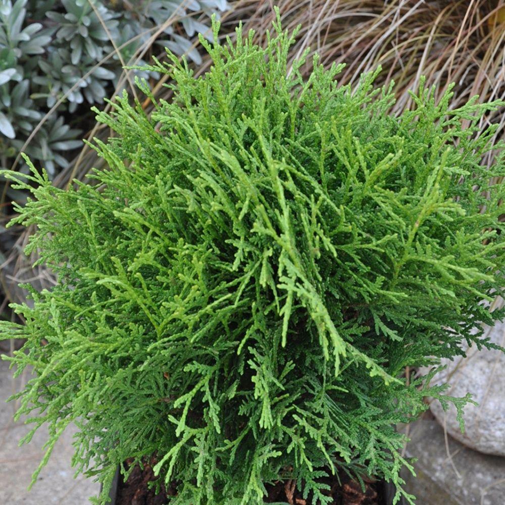 Thuya d 39 occident 39 danica 39 plantes et jardins for Plante et jardins