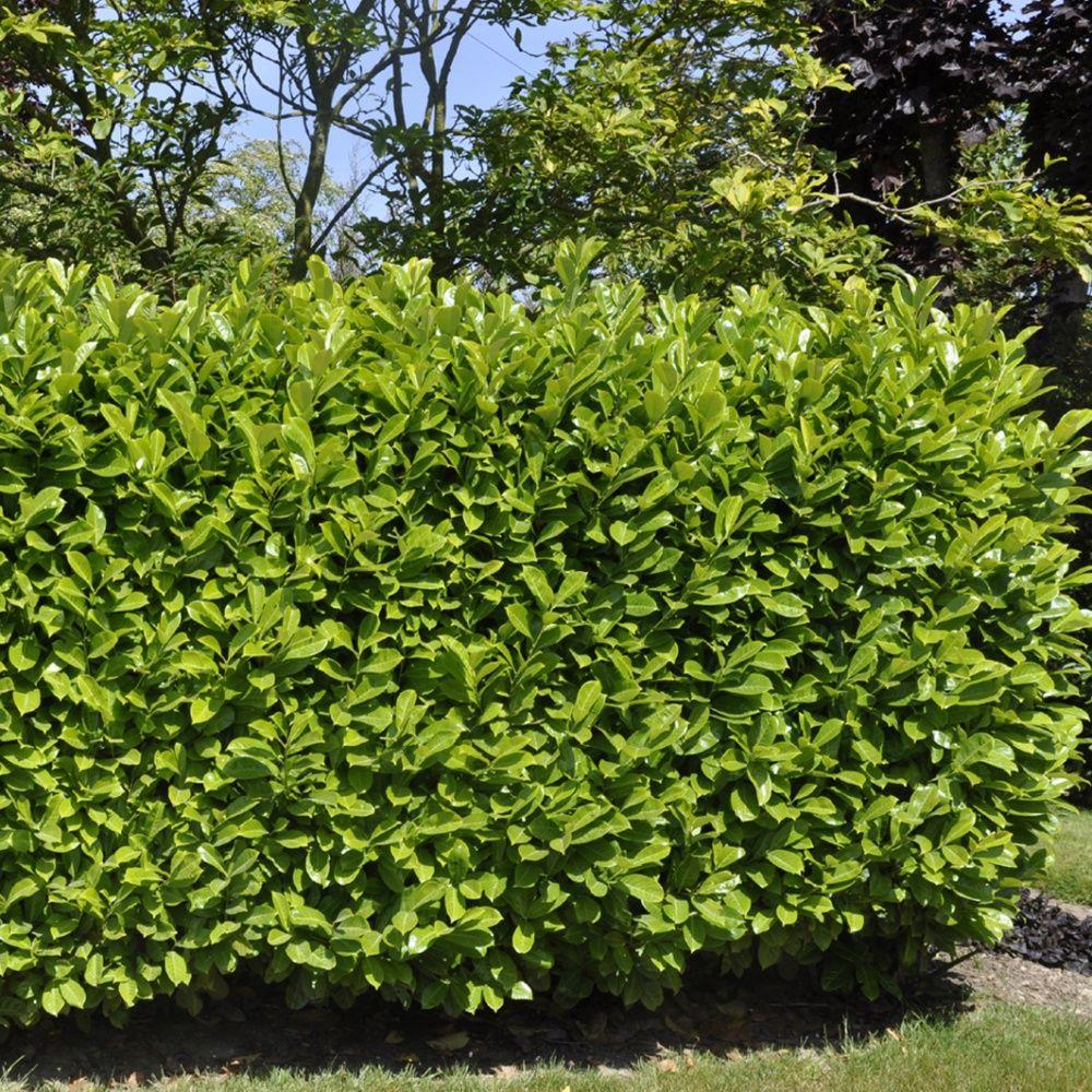 Laurier cerise 39 rotundifolia 39 plantes et jardins for Plantes et jardins adresse