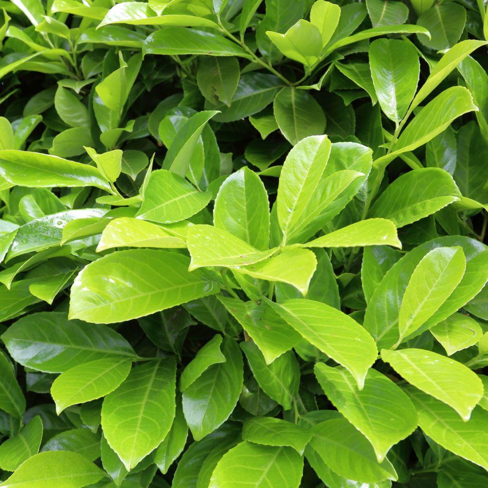 laurier cerise 39 rotundifolia 39 plantes et jardins. Black Bedroom Furniture Sets. Home Design Ideas
