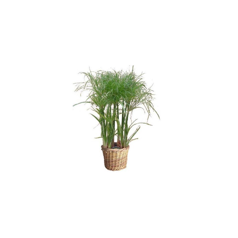 Papyrus du nil cache pot plantes et jardins for Jardin du nil red wine