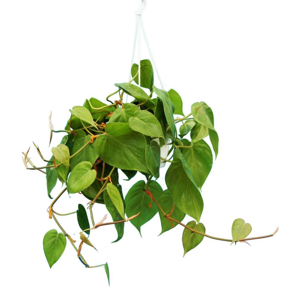 philodendron scandens en suspension plantes et jardins. Black Bedroom Furniture Sets. Home Design Ideas